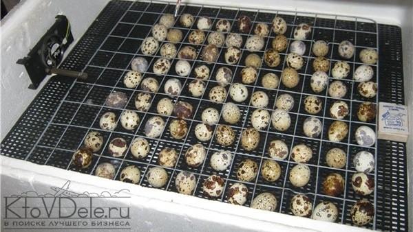 Выращивание перепелов в инкубаторе