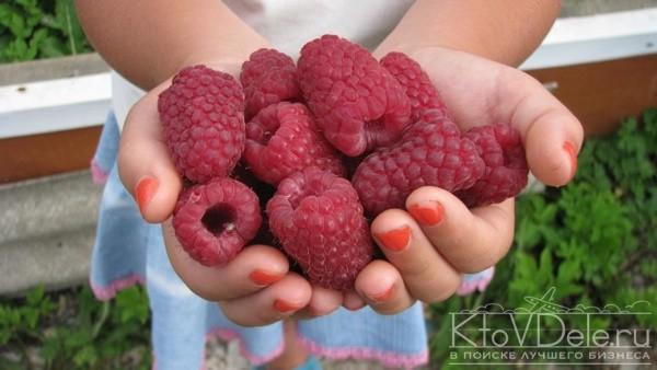 Выращивание малины как бизнес: План и рентабельность 33