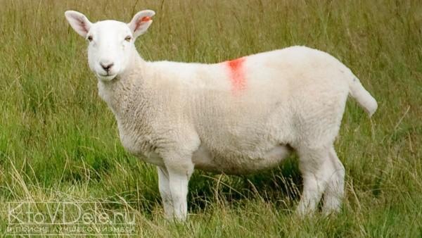 Выращивание овец как бизнес