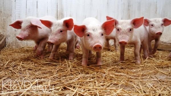 Разведение свиней как бизнес