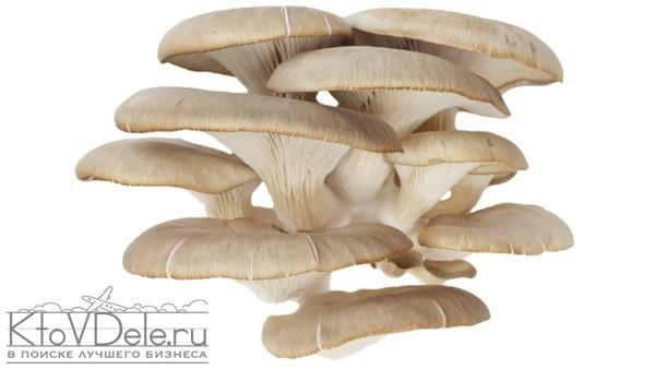 грибы вешенки выращивание