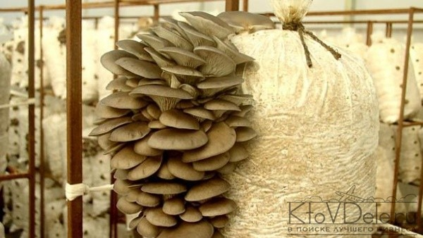 Разведение грибов в домашних условиях
