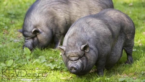 Бизнес на вьетнамских свиньях в домашних условиях