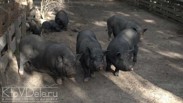 Разведение вьетнамских вислобрюхих свиней