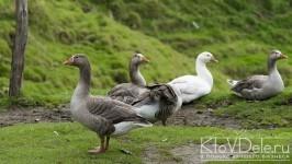 разведение гусей в домашних условиях