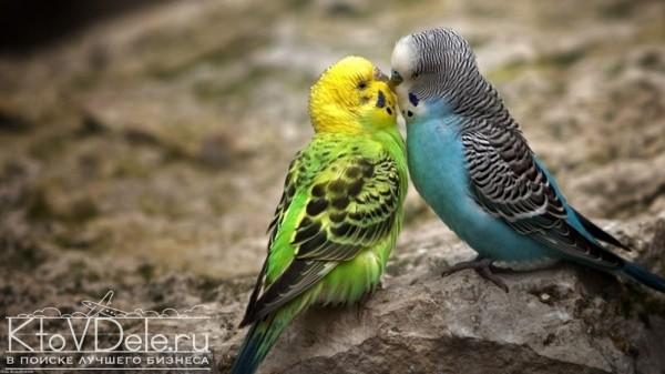 разведение волнистных попугаев как бизнес