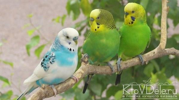 Содержание и разведение волнистых попугаев
