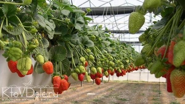 Выращивание клубники как бизнес в теплице
