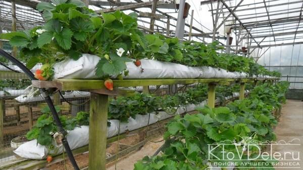 Выращивание клубники голландским способом